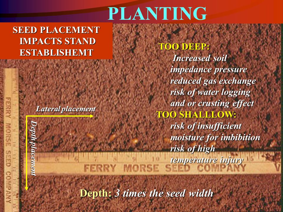 SEED PLACEMENT IMPACTS STAND ESTABLISHEMT IMPACTS STAND ESTABLISHEMT Lateral placement Depth placement TOO DEEP: TOO DEEP: Increased soil impedance pressure Increased soil impedance pressure reduced gas exchange risk of water logging and or crusting effect TOO SHALLLOW: risk of insufficient moisture for imbibition risk of high temperature injury Depth: 3 times the seed width PLANTING
