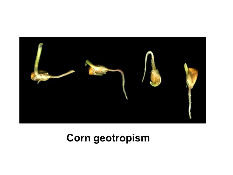 Corn geotropism