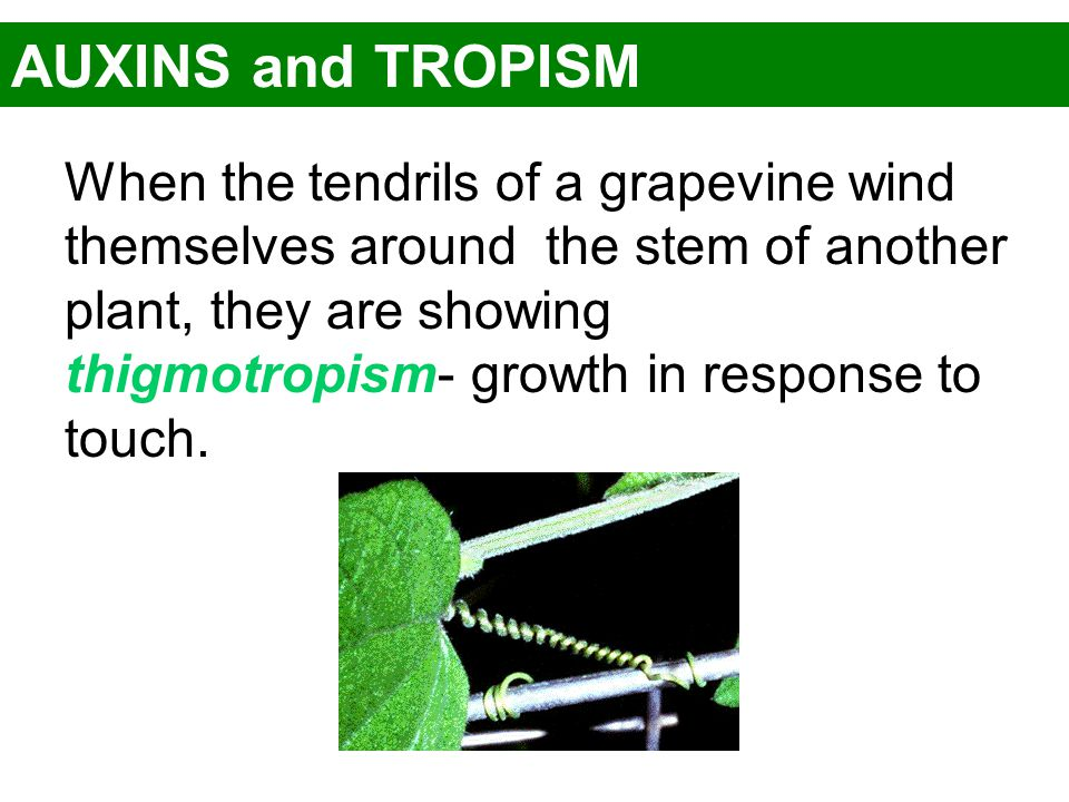 AUXINS and TROPISM When the tendrils of a grapevine wind themselves around the stem of another plant, they are showing thigmotropism- growth in respon