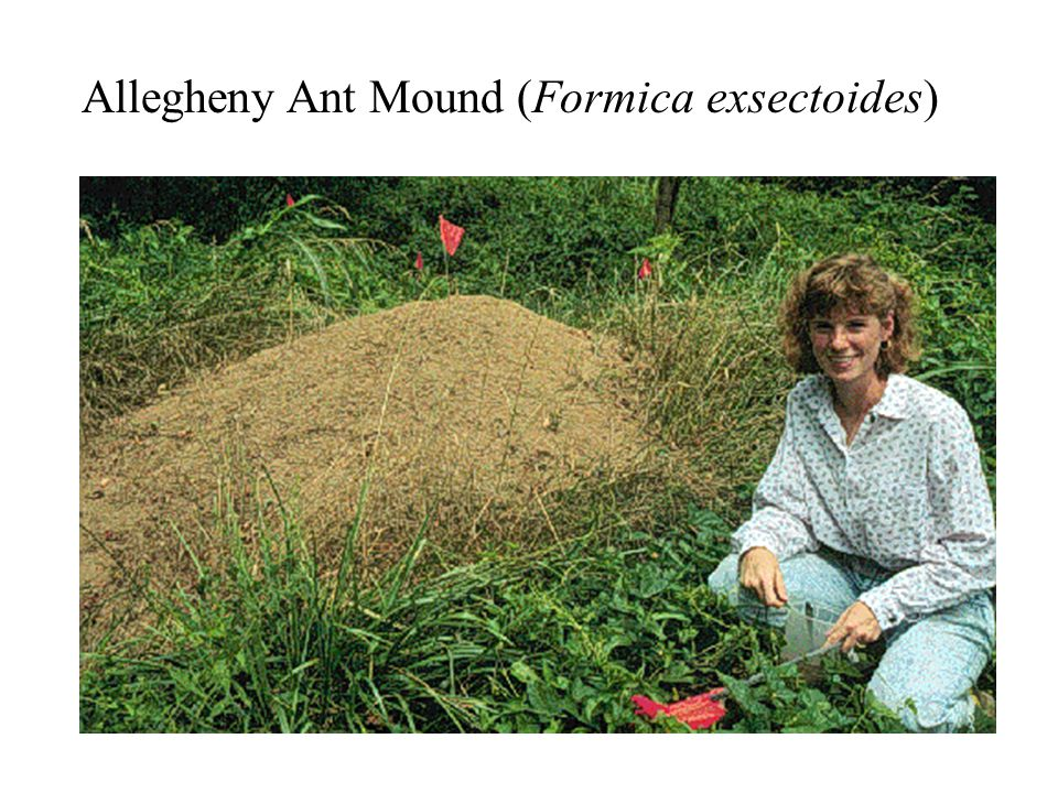 Allegheny Ant Mound (Formica exsectoides)
