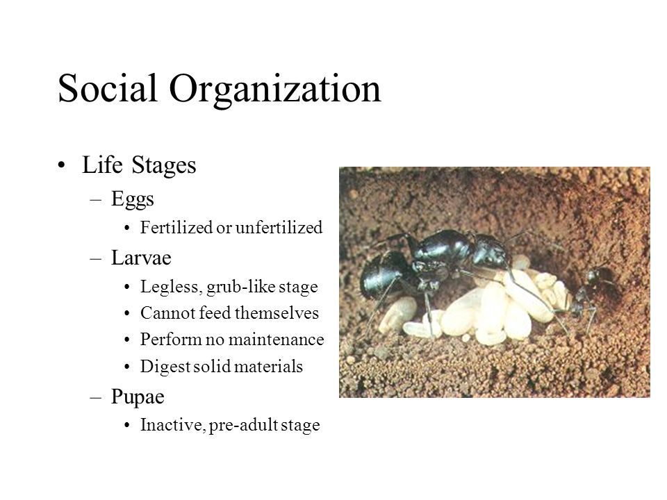 Social Organization Life Stages –Eggs Fertilized or unfertilized –Larvae Legless, grub-like stage Cannot feed themselves Perform no maintenance Digest