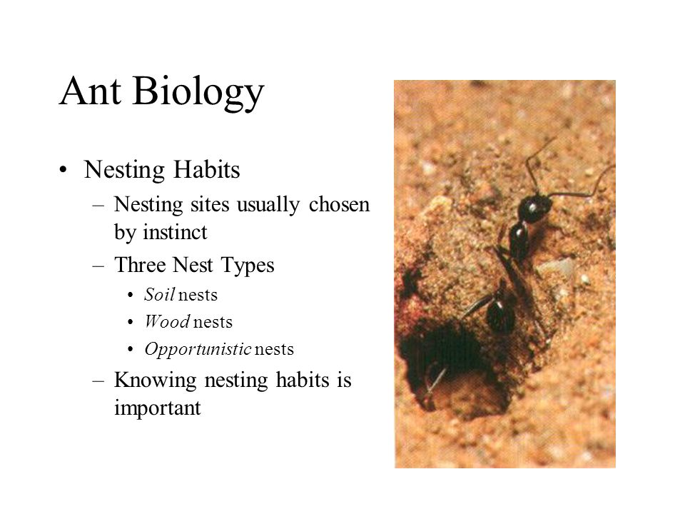 Ant Biology Nesting Habits –Nesting sites usually chosen by instinct –Three Nest Types Soil nests Wood nests Opportunistic nests –Knowing nesting habi