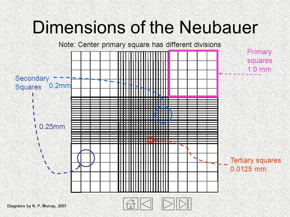 Dimensions of the Neubauer Primary squares 1.0 mm Tertiary squares 0.0125 mm SecondarySquaresSecondarySquares 0.25mm 0.2mm Note: Center primary square
