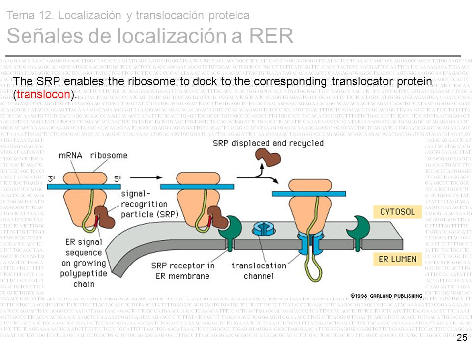 25 The SRP enables the ribosome to dock to the corresponding translocator protein (translocon).