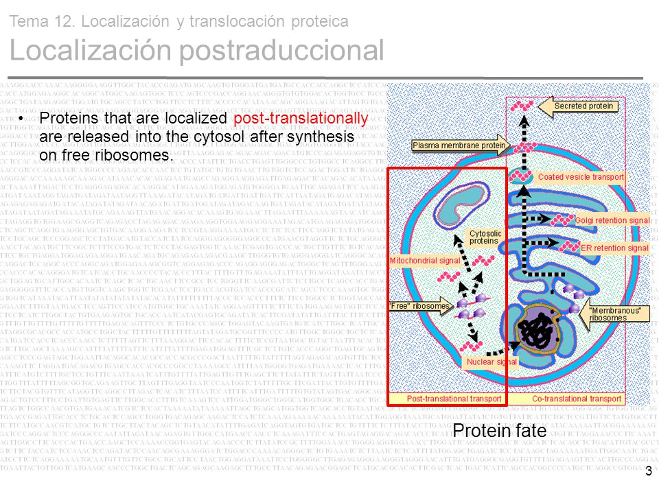 3 Proteins that are localized post-translationally are released into the cytosol after synthesis on free ribosomes.