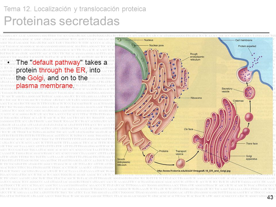 43 The default pathway takes a protein through the ER, into the Golgi, and on to the plasma membrane.