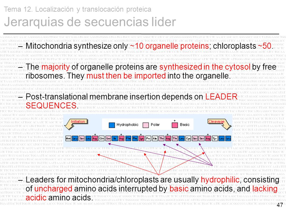 47 –Mitochondria synthesize only ~10 organelle proteins; chloroplasts ~50.