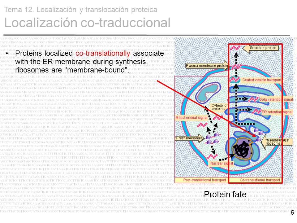5 Proteins localized co-translationally associate with the ER membrane during synthesis, ribosomes are membrane-bound .