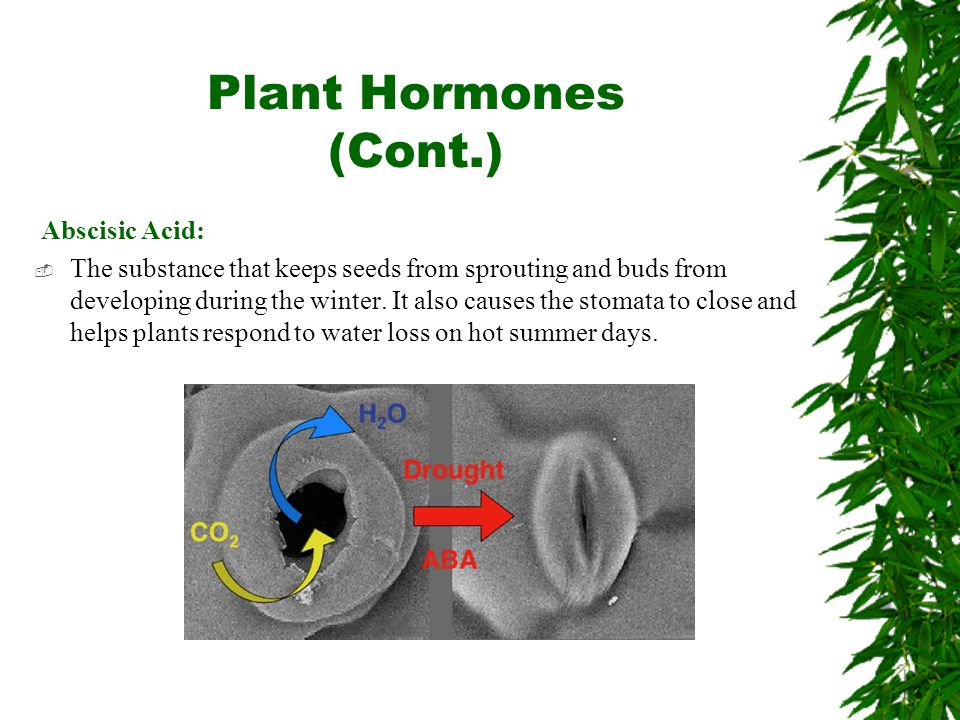 Plant Hormones (Cont.) Abscisic Acid:  The substance that keeps seeds from sprouting and buds from developing during the winter.