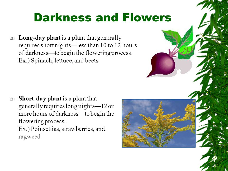 Darkness and Flowers  Long-day plant is a plant that generally requires short nights—less than 10 to 12 hours of darkness—to begin the flowering proc