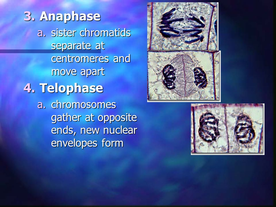 3.Anaphase a.sister chromatids separate at centromeres and move apart 4.Telophase a.chromosomes gather at opposite ends, new nuclear envelopes form