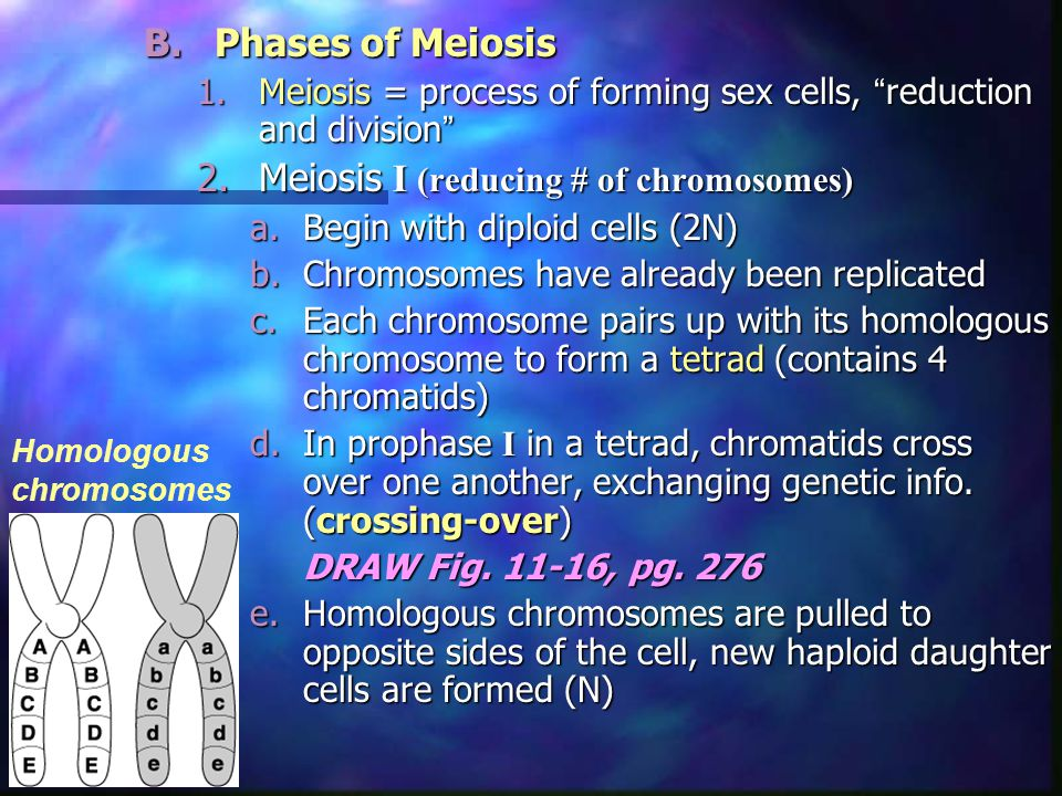 B.Phases of Meiosis 1.Meiosis = process of forming sex cells, reduction and division 2.Meiosis I (reducing # of chromosomes) a.Begin with diploid cells (2N) b.Chromosomes have already been replicated c.Each chromosome pairs up with its homologous chromosome to form a tetrad (contains 4 chromatids) d.In prophase I in a tetrad, chromatids cross over one another, exchanging genetic info.