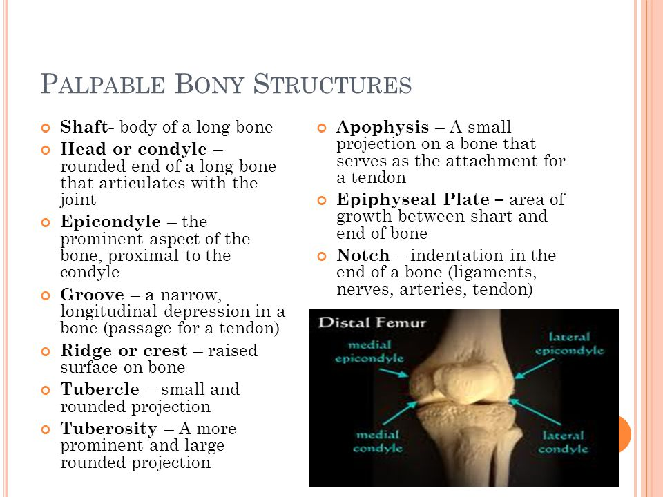 P ALPABLE B ONY S TRUCTURES Shaft- body of a long bone Head or condyle – rounded end of a long bone that articulates with the joint Epicondyle – the p