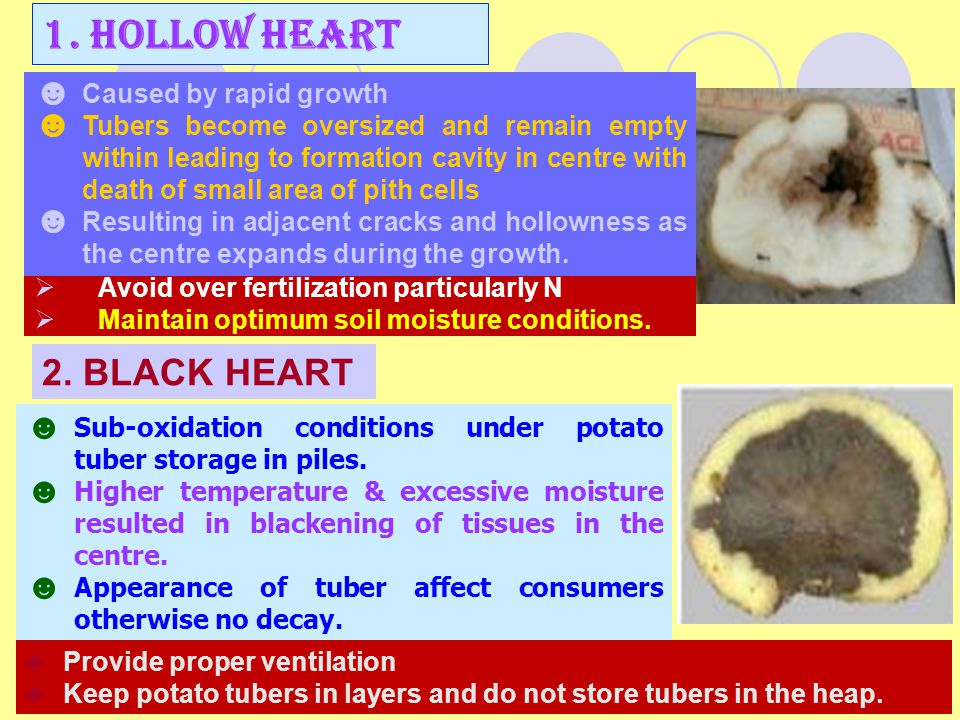  Avoid over fertilization particularly N  Maintain optimum soil moisture conditions. 1. HOLLOW HEART ☻ Caused by rapid growth ☻ Tubers become oversi