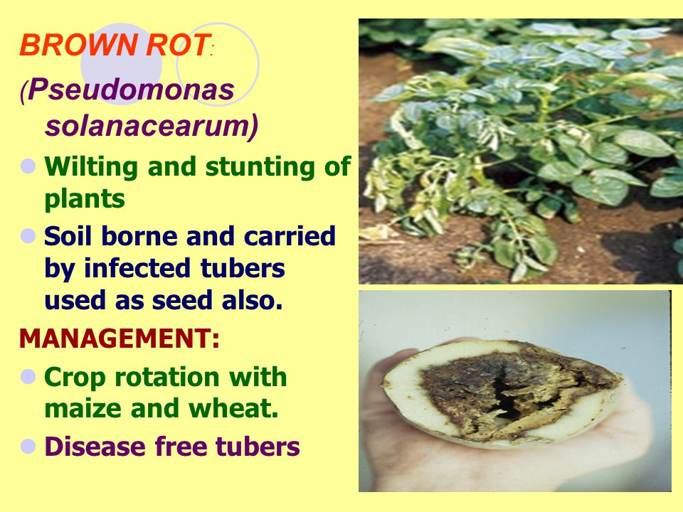 BROWN ROT : ( Pseudomonas solanacearum) Wilting and stunting of plants Soil borne and carried by infected tubers used as seed also. MANAGEMENT: Crop r