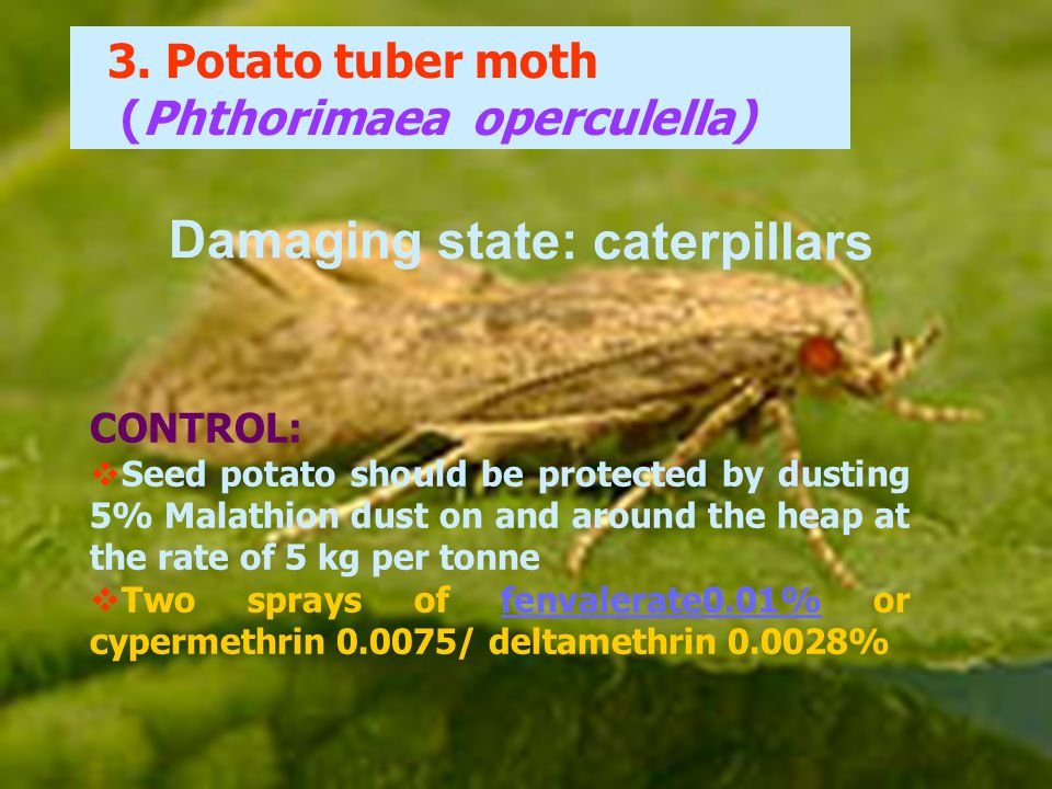 3. Potato tuber moth (Phthorimaea operculella) CONTROL:  Seed potato should be protected by dusting 5% Malathion dust on and around the heap at the r