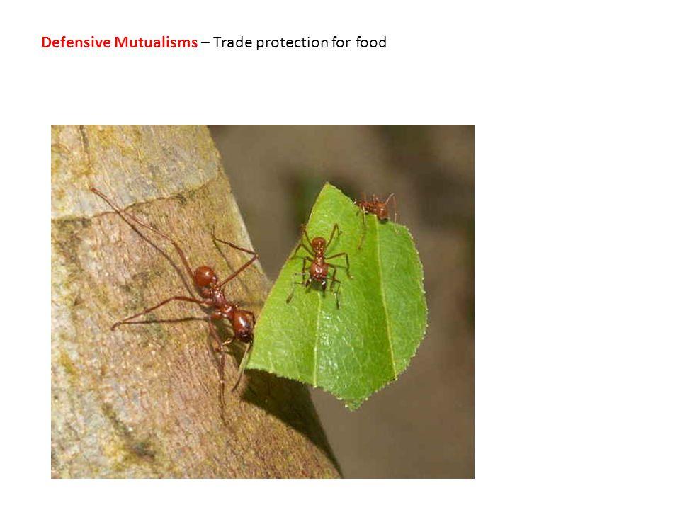 Defensive Mutualisms – Trade protection for food