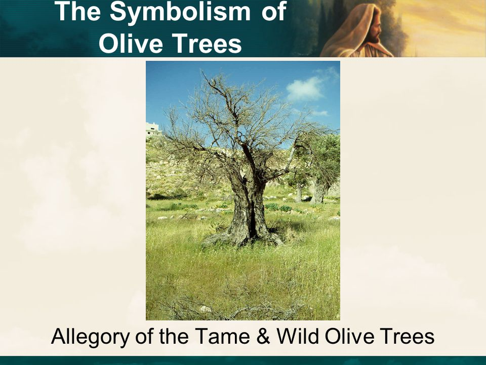Allegory of the Tame & Wild Olive Trees The Symbolism of Olive Trees