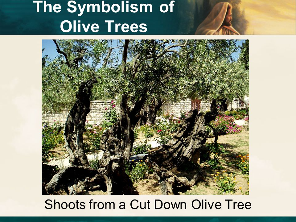 Shoots from a Cut Down Olive Tree The Symbolism of Olive Trees