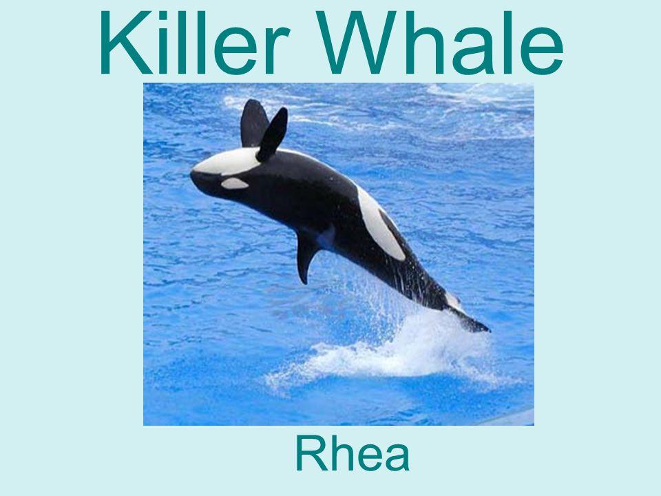 Killer Whale Rhea