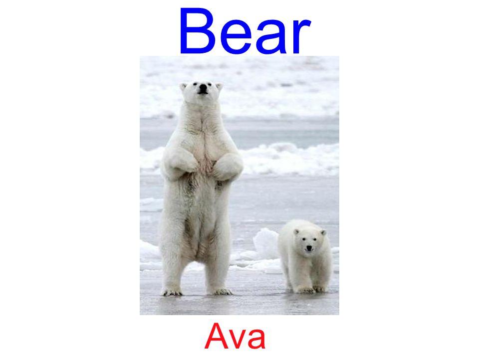 Bear Ava