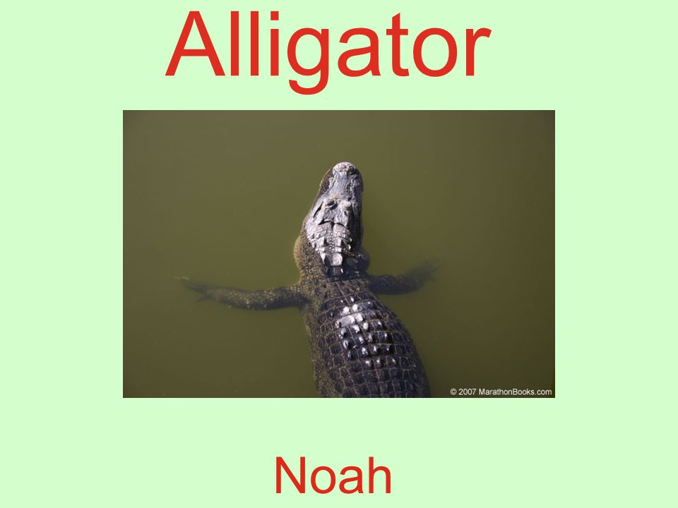 Alligator Noah