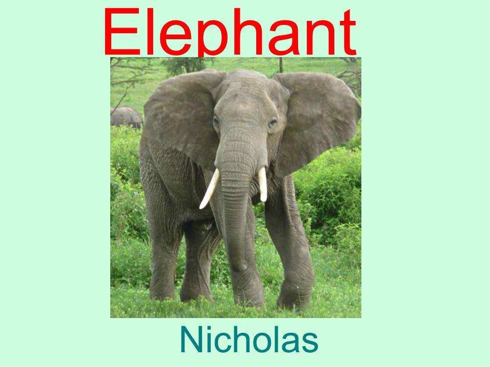 Elephant Nicholas