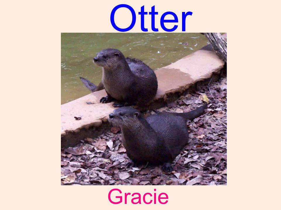 Otter Gracie