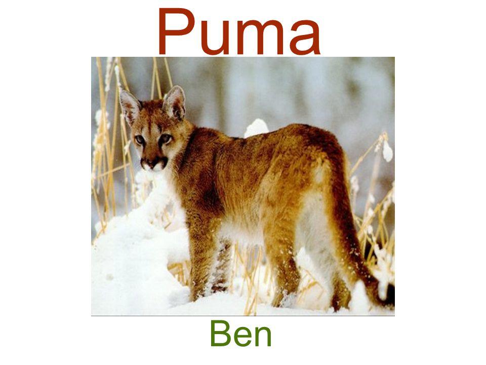 Puma Ben