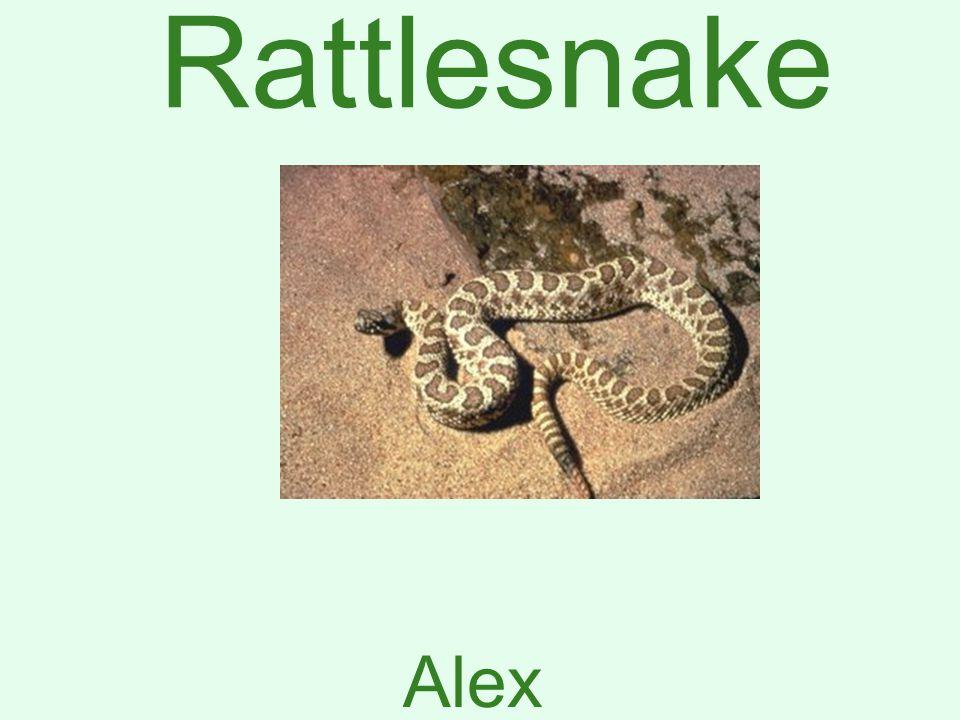 Rattlesnake Alex