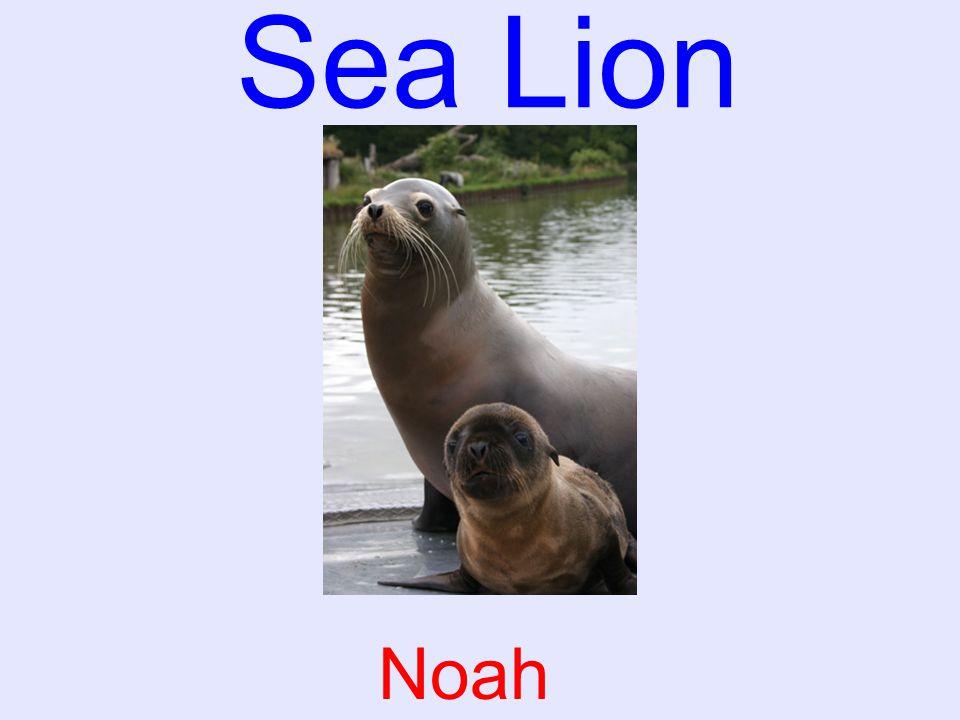 Sea Lion Noah