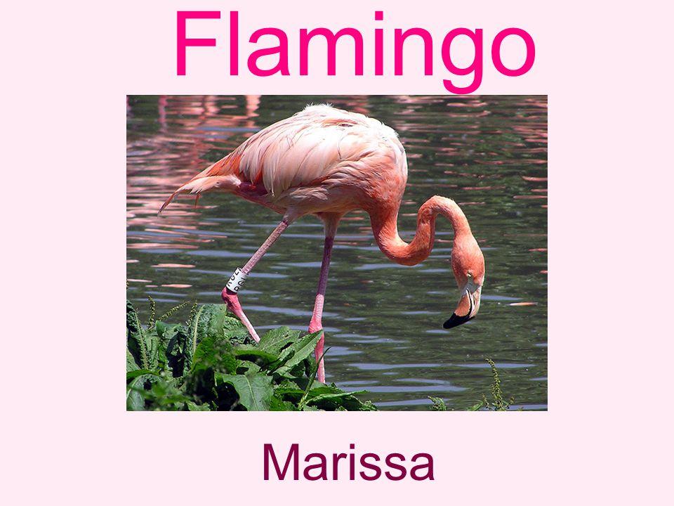 Flamingo Marissa