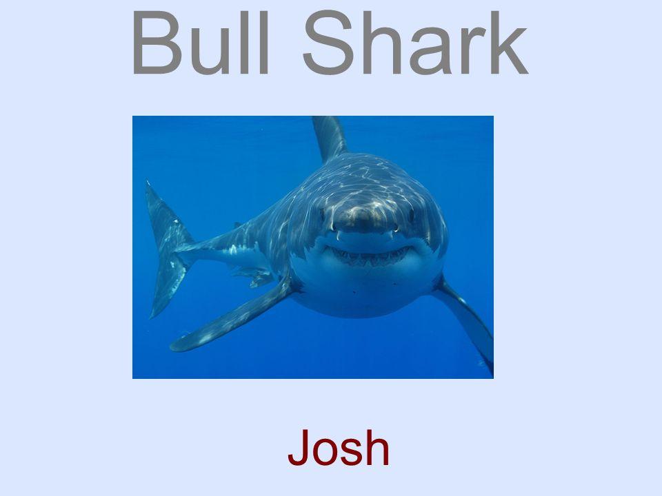 Bull Shark Josh