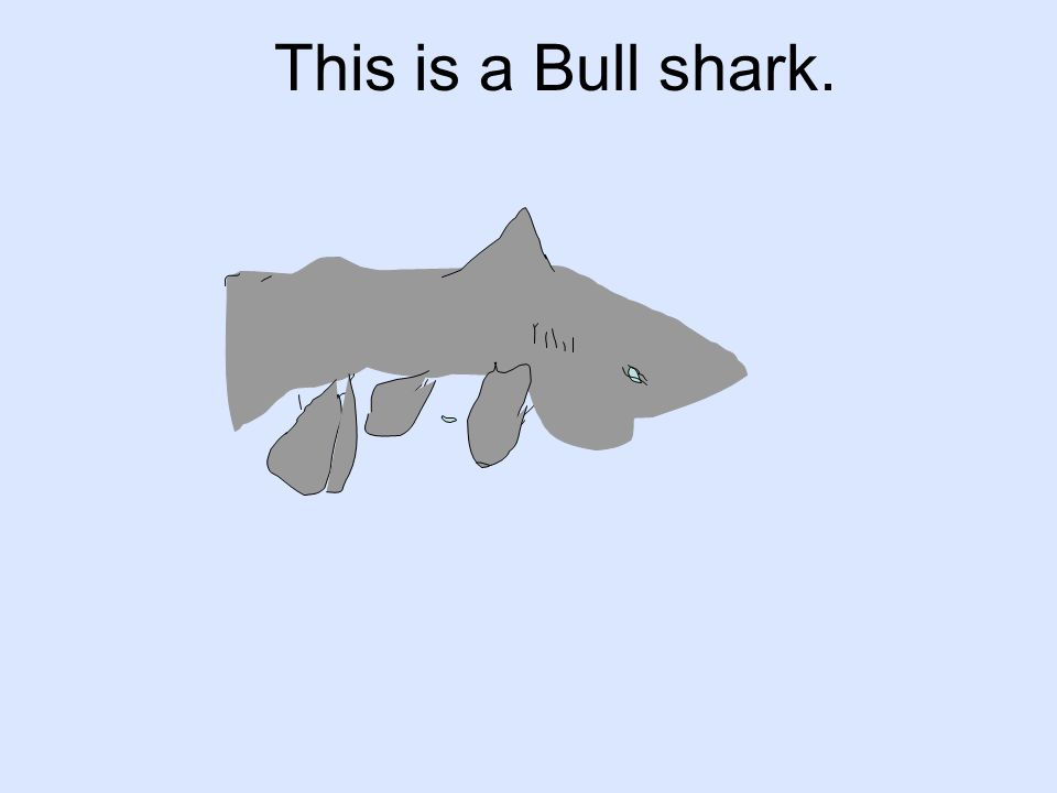 This is a Bull shark.