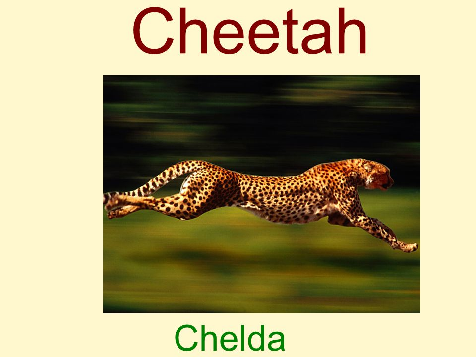 Cheetah Chelda