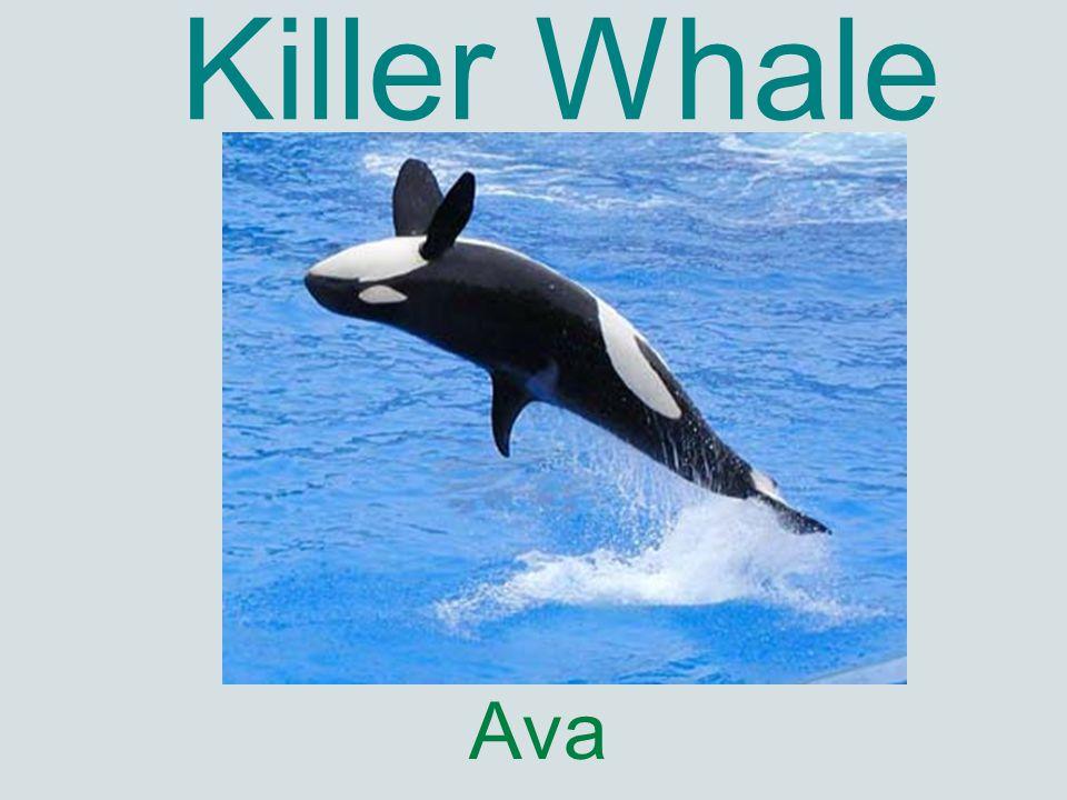 Killer Whale Ava