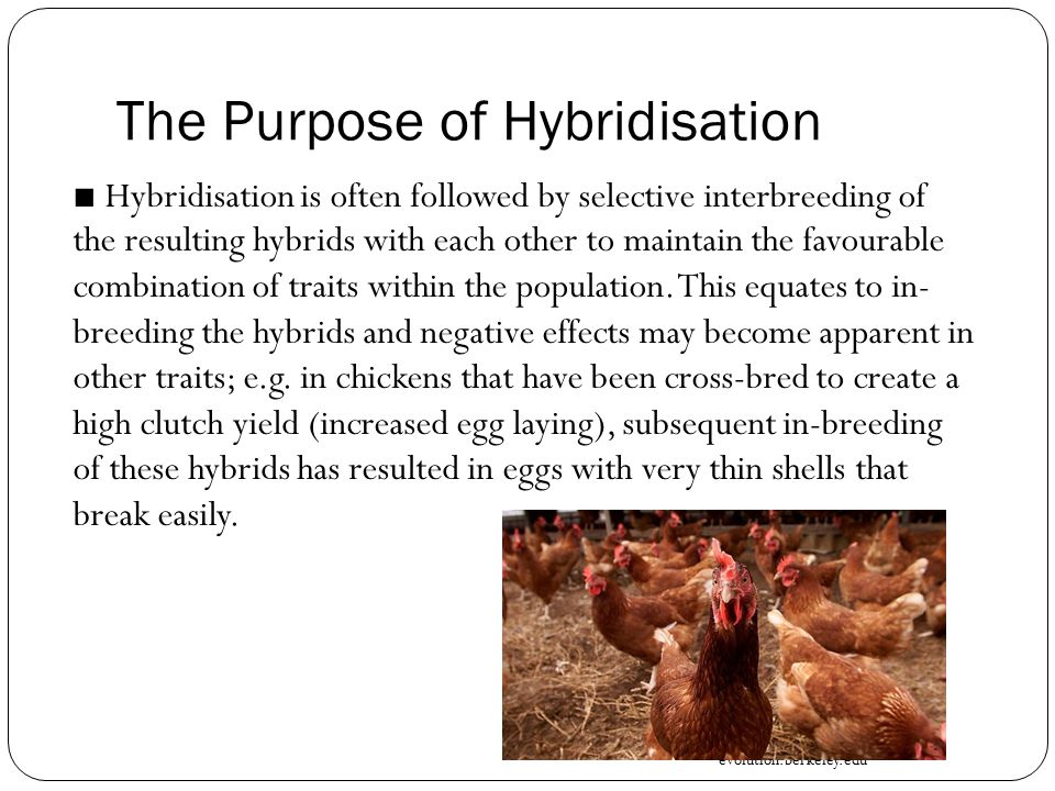 The Purpose of Hybridisation ■ Hybridisation is often followed by selective interbreeding of the resulting hybrids with each other to maintain the favourable combination of traits within the population.