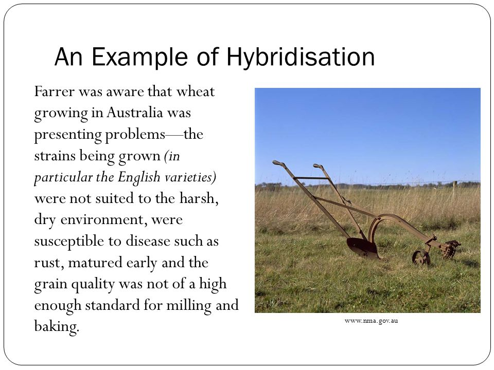 An Example of Hybridisation Farrer was aware that wheat growing in Australia was presenting problems—the strains being grown (in particular the English varieties) were not suited to the harsh, dry environment, were susceptible to disease such as rust, matured early and the grain quality was not of a high enough standard for milling and baking.