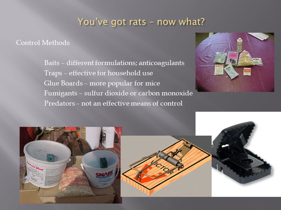 You've got rats – now what.