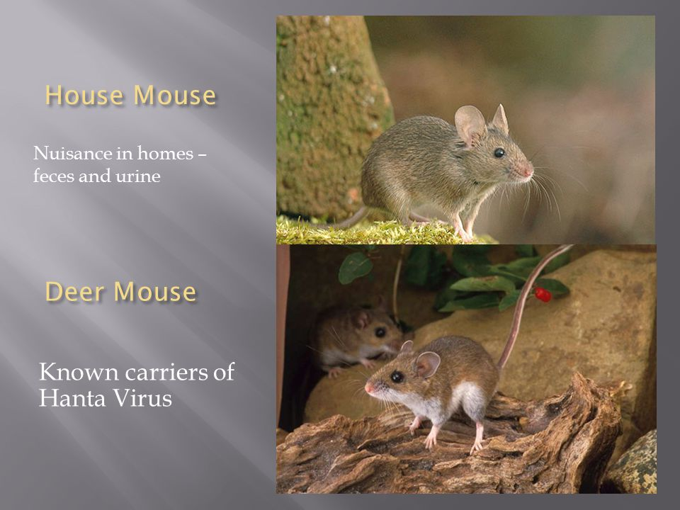Deer Mouse Nuisance in homes – feces and urine House Mouse Known carriers of Hanta Virus