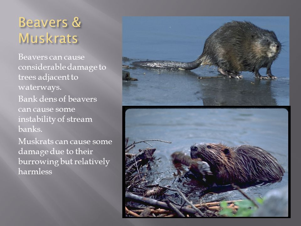 Beavers & Muskrats Beavers can cause considerable damage to trees adjacent to waterways.