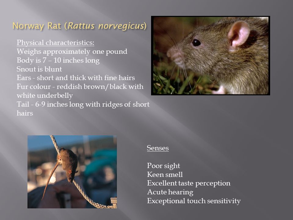 Rats are pests.