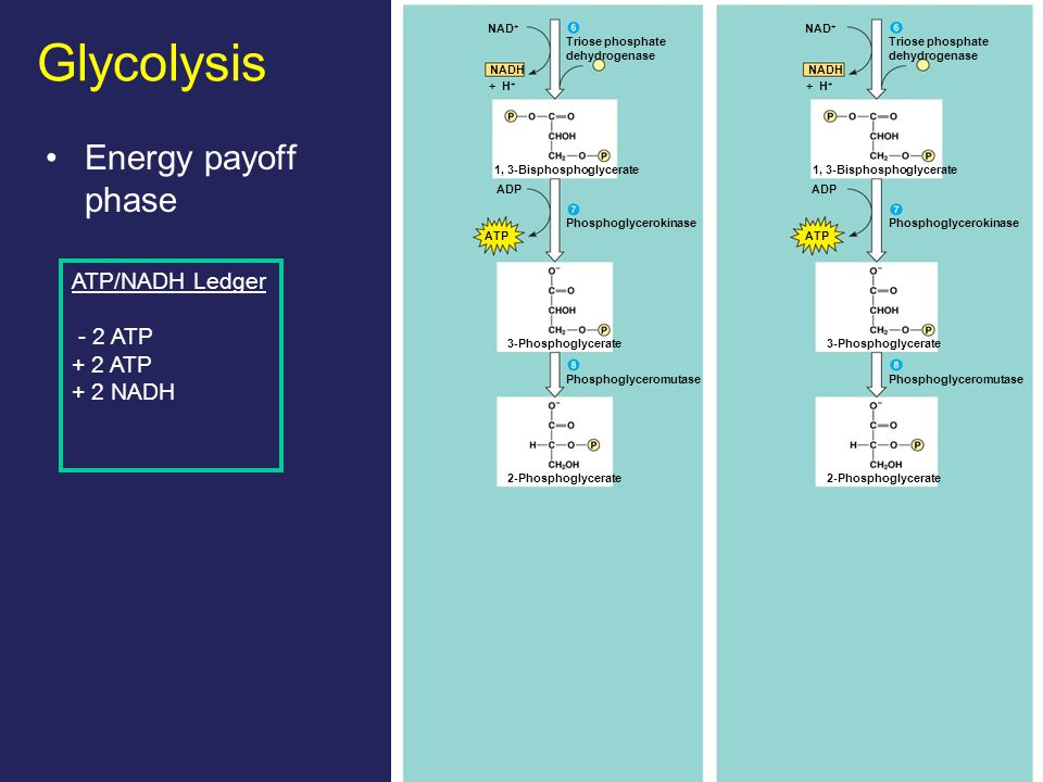18 Glycolysis Energy payoff phase NAD + Triose phosphate dehydrogenase + H + NADH 1, 3-Bisphosphoglycerate ADP ATP Phosphoglycerokinase Phosphoglyceromutase 2-Phosphoglycerate 3-Phosphoglycerate NAD + Triose phosphate dehydrogenase + H + NADH 1, 3-Bisphosphoglycerate ADP ATP Phosphoglycerokinase Phosphoglyceromutase 2-Phosphoglycerate 3-Phosphoglycerate ATP/NADH Ledger - 2 ATP + 2 ATP + 2 NADH