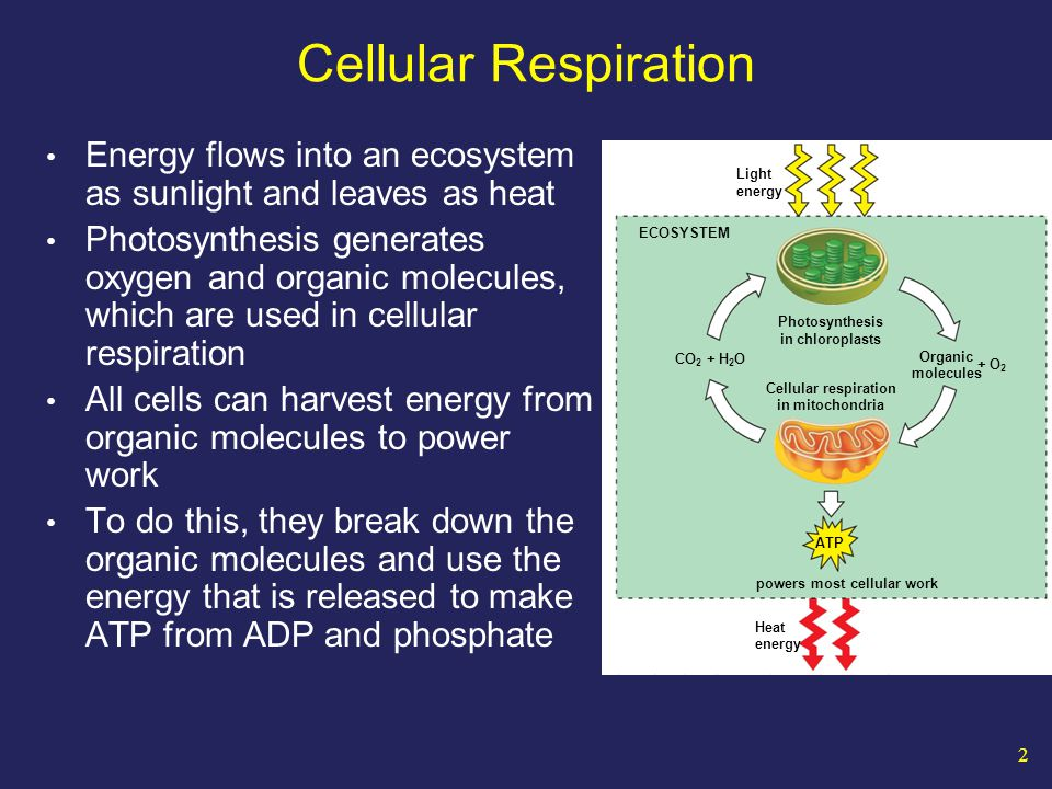 53 Flow of Energy in Living Things Oxidation – Reduction Oxidation occurs when an atom or molecule loses an electron.
