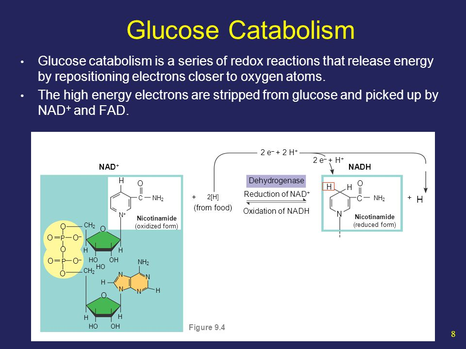 19 Glycolysis End-products of glycolysis are 2 pyruvate molecules NAD + Triose phosphate dehydrogenase + H + NADH 1, 3-Bisphosphoglycerate ADP ATP Phosphoglycerokinase Phosphoglyceromutase 2-Phosphoglycerate 3-Phosphoglycerate ADP ATP Pyruvate kinase H 2 O Enolase Phosphoenolpyruvate Pyruvate NAD + Triose phosphate dehydrogenase + H + NADH 1, 3-Bisphosphoglycerate ADP ATP Phosphoglycerokinase Phosphoglyceromutase 2-Phosphoglycerate 3-Phosphoglycerate ADP ATP Pyruvate kinase H 2 O Enolase Phosphoenolpyruvate Pyruvate ATP/NADH Ledger - 2 ATP + 4 ATP + 2 NADH