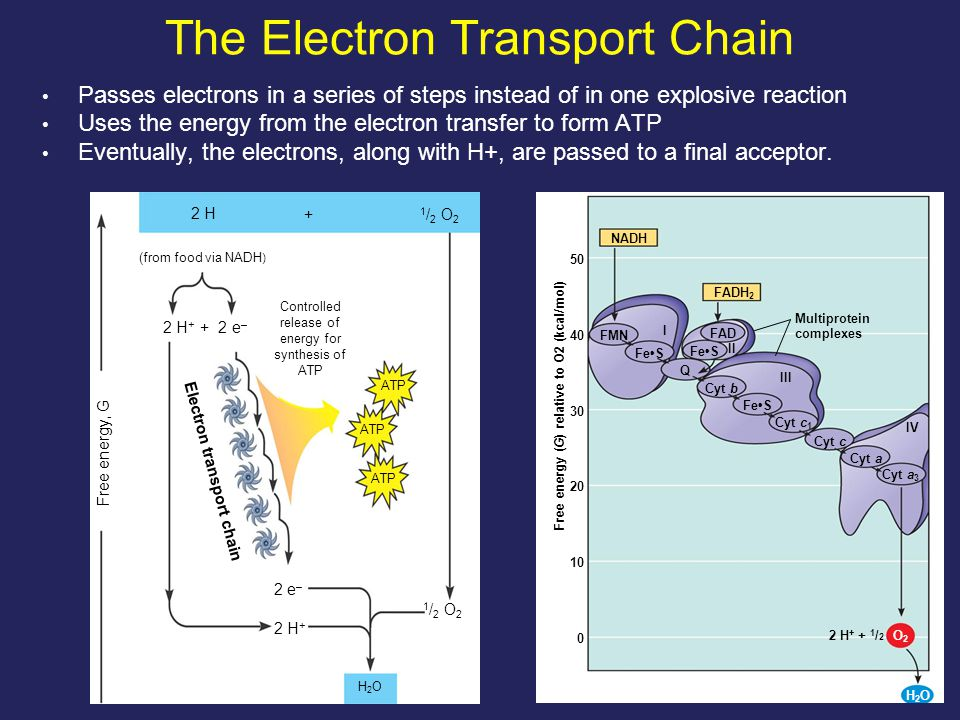 30 The Pathway of Electron Transport The electron transport chain generates no ATP The chain's function is to break the large free- energy drop from food to O 2 into smaller steps that release energy in manageable amounts NADH 50 FADH 2 40 FMN FeS I FAD FeS II III Q FeS Cyt b 30 20 Cyt c Cyt c 1 Cyt a Cyt a 3 IV 10 0 Multiprotein complexes Free energy (G) relative to O2 (kcal/mol) H2OH2O O2O2 2 H + + 1 / 2