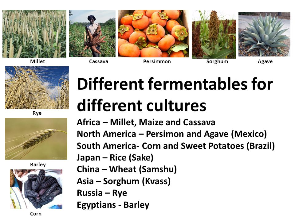Different fermentables for different cultures Africa – Millet, Maize and Cassava North America – Persimon and Agave (Mexico) South America- Corn and Sweet Potatoes (Brazil) Japan – Rice (Sake) China – Wheat (Samshu) Asia – Sorghum (Kvass) Russia – Rye Egyptians - Barley Millet CassavaPersimmonSorghum Rye Barley Agave Corn