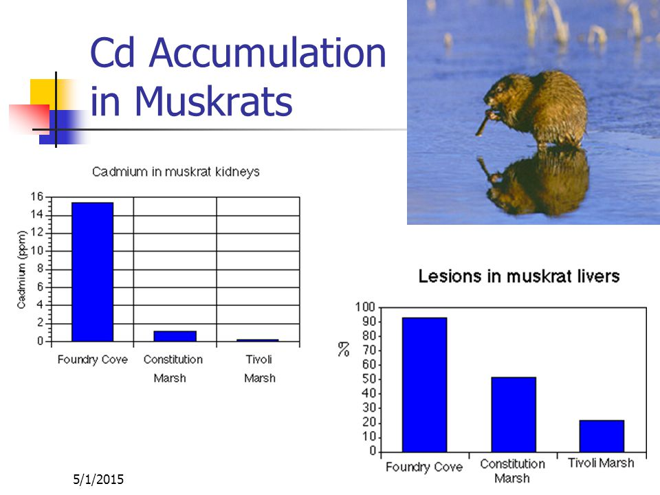 5/1/2015 Cd Accumulation in Biota High levels of Cd found in a number of organisms (e.g., Limnodrilus hoffmeisterii)