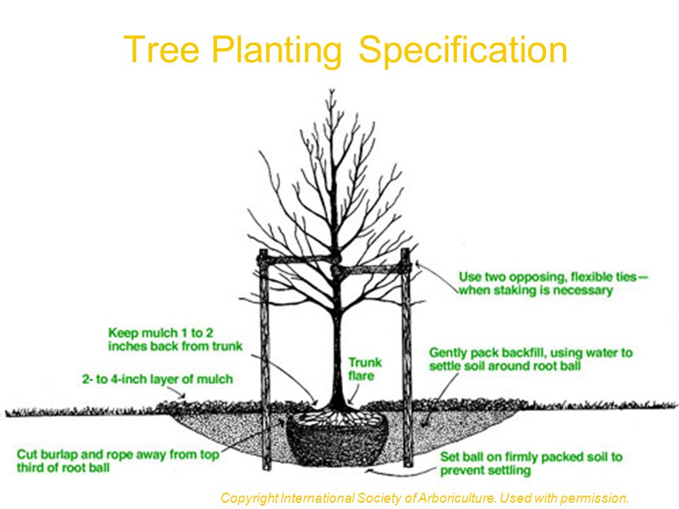 Tree Planting Specification Copyright International Society of Arboriculture. Used with permission.