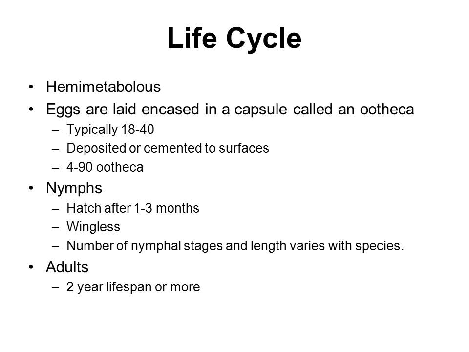 Life Cycle Hemimetabolous Eggs are laid encased in a capsule called an ootheca –Typically 18-40 –Deposited or cemented to surfaces –4-90 ootheca Nymphs –Hatch after 1-3 months –Wingless –Number of nymphal stages and length varies with species.